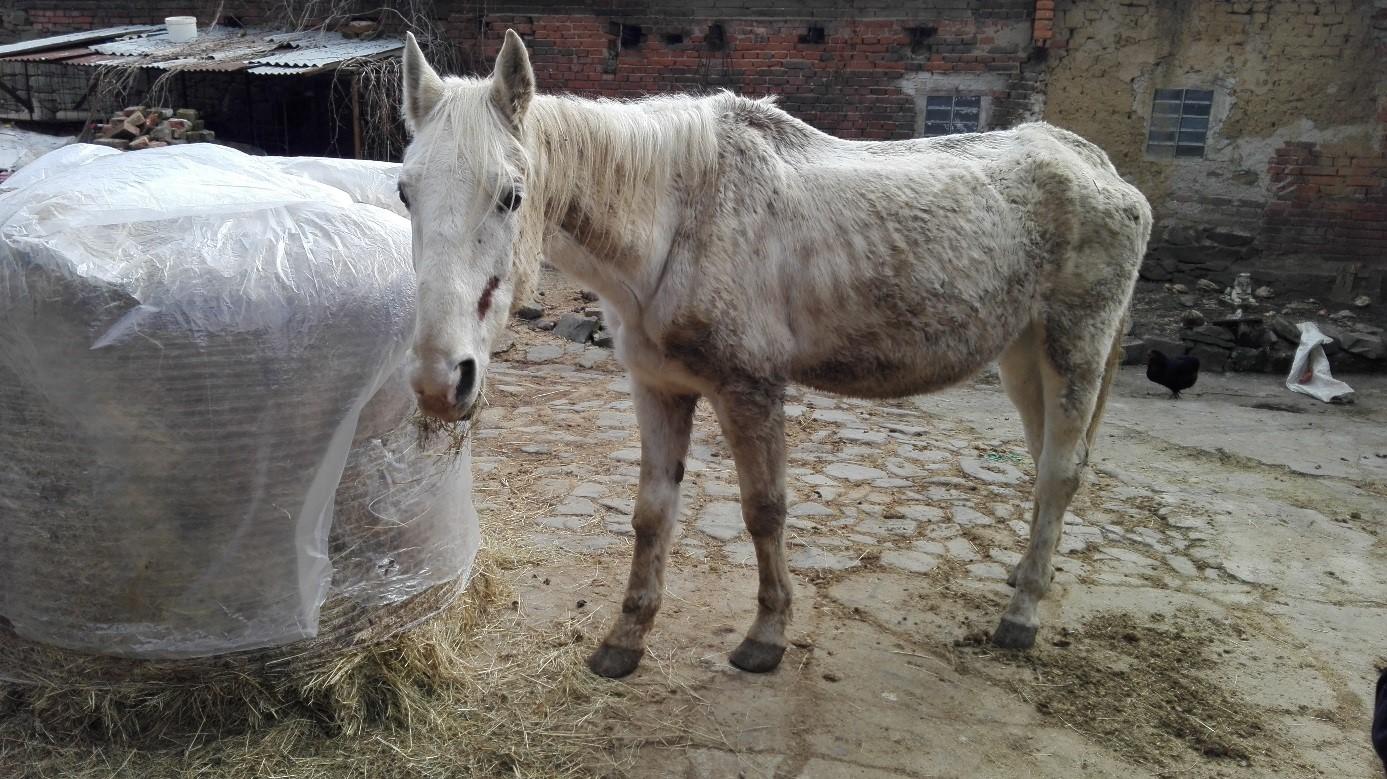 Kontrola SVS na Prostějovsku objevila týraného koně  41c6630c24